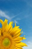 Sunflower on Cloudy Blue Sky With Copy Spac Stock Photography