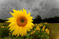 Sunflower. On a cloudy day in a field Stock Photos