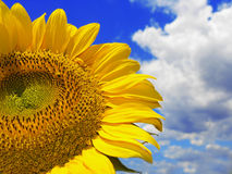 Sunflower and cloudy sky. Beautiful sunflower against blue sky stock image