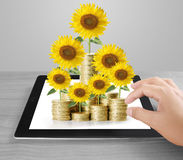 Sunflower and coins Money growth concept Royalty Free Stock Photo