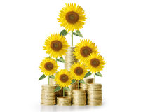 Sunflower and coins Money growth concept Stock Photos
