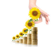 Sunflower and coins Money growth concept Royalty Free Stock Images