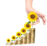 Sunflower and coins Money growth concept Royalty Free Stock Photos