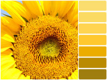 Sunflower and color palette. Color palette series: shades of yellow Royalty Free Stock Image
