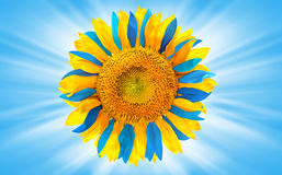 Sunflower colored as Ukrainian flag. On blue background royalty free stock photo