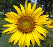 Sunflower. The sunflower colorful Royalty Free Stock Images