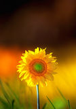 Sunflower on colorful background Royalty Free Stock Photography