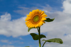A sunflower Royalty Free Stock Images