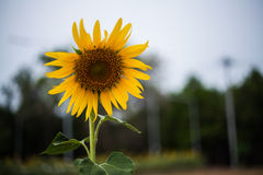 Sunflower. Comparably early Stock Photos