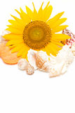 Sunflower and Conch Stock Photography