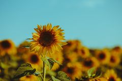 Sunflower in contrast with the blue sky royalty free stock photography