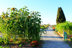Sunflower and corn grows in the garden. Sunset Royalty Free Stock Photo