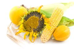 Sunflower, corn, wheat and pumpkin Royalty Free Stock Images