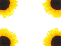 Sunflower Corners Stock Photos