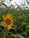 Sunflower in the cornfield stock photography