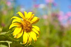Sunflower and cosmos Stock Photography