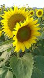 Sunflower couple Royalty Free Stock Photo