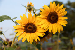 Sunflower couple. Sunflowers farm in the countryside Stock Images