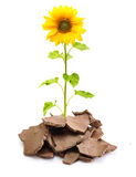 Sunflower in cracked soil Royalty Free Stock Images