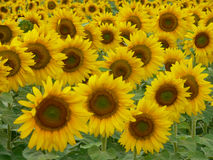 Sunflower crop Royalty Free Stock Image