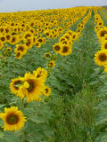 Sunflower crop Stock Photography