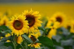 Sunflower crop in Australia Stock Photo