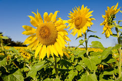 Sunflower Crop in Field Stock Images