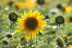 Sunflower crop Royalty Free Stock Photography