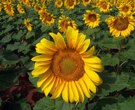 Sunflower Crop in West Texas. Close up view of sun flower crop in West Texas Royalty Free Stock Photography