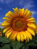 Sunflower Crop in West Texas. Close up of sunflower crop in West Texas Royalty Free Stock Photos