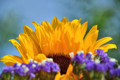 Sunflower crown Stock Images