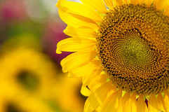 Sunflower cultivation Stock Photography