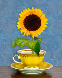 Sunflower in a cup. Sunflower in a yelow cup royalty free stock images