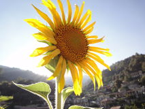 Sunflower. In Cyprus Stock Photography