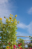 Sunflower and Dahlia Border Background Royalty Free Stock Photography