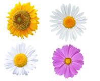Sunflower, daisy and purple blossoms, isolated on white Stock Photo