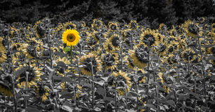 Sunflower daring to look behind Royalty Free Stock Photos