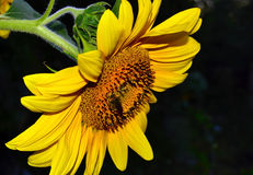 Sunflower on a dark background Royalty Free Stock Photography