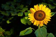 Sunflower on dark background. Single sunflower set against dark left background stock photography
