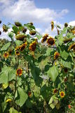 A Sunflower day Stock Photo