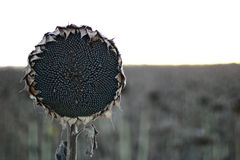 Sunflower dead. The maturity of sunflower crop stock photo