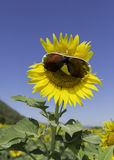 Sunflower decorated with sun glass in blue sky Royalty Free Stock Images