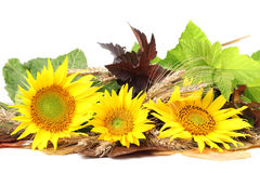 Sunflower decoration Royalty Free Stock Image