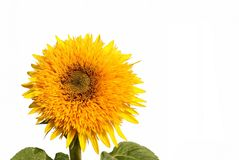 Sunflower decorative Stock Photography