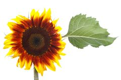 Sunflower decorative flower with green leaf isolated Royalty Free Stock Photos