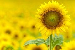 sunflower from defocus background. Sunflower from defocus sunflowers filed background Stock Photo