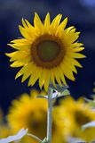 Sunflower detail. In a field, blurred background stock photo