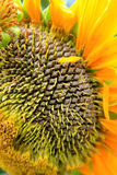 Sunflower Detail Royalty Free Stock Photography