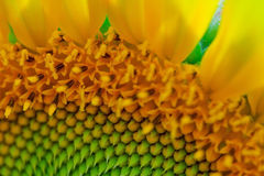 Sunflower detail. Detailed section macro photograph of a sunflower in full blossom, without developed seeds Stock Photos