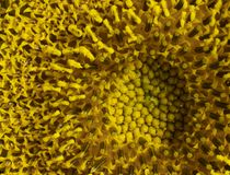 Sunflower detail Stock Images